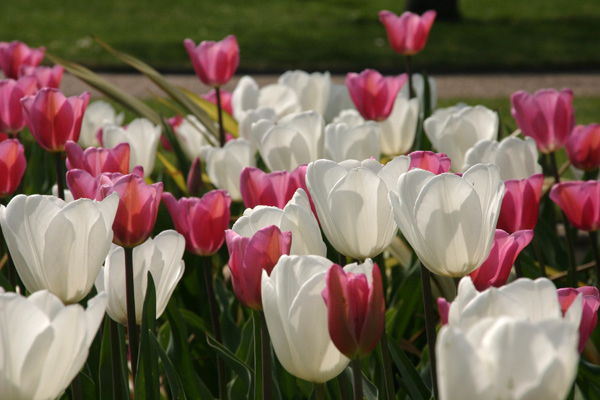 Tulips in London, Nature - Photo by Gil Dekel.